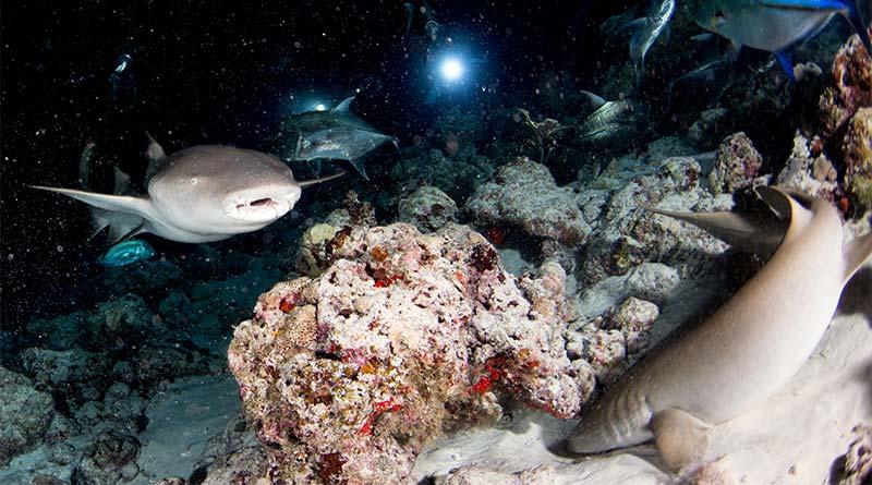 Nachttauchen mit Haien auf den Malediven